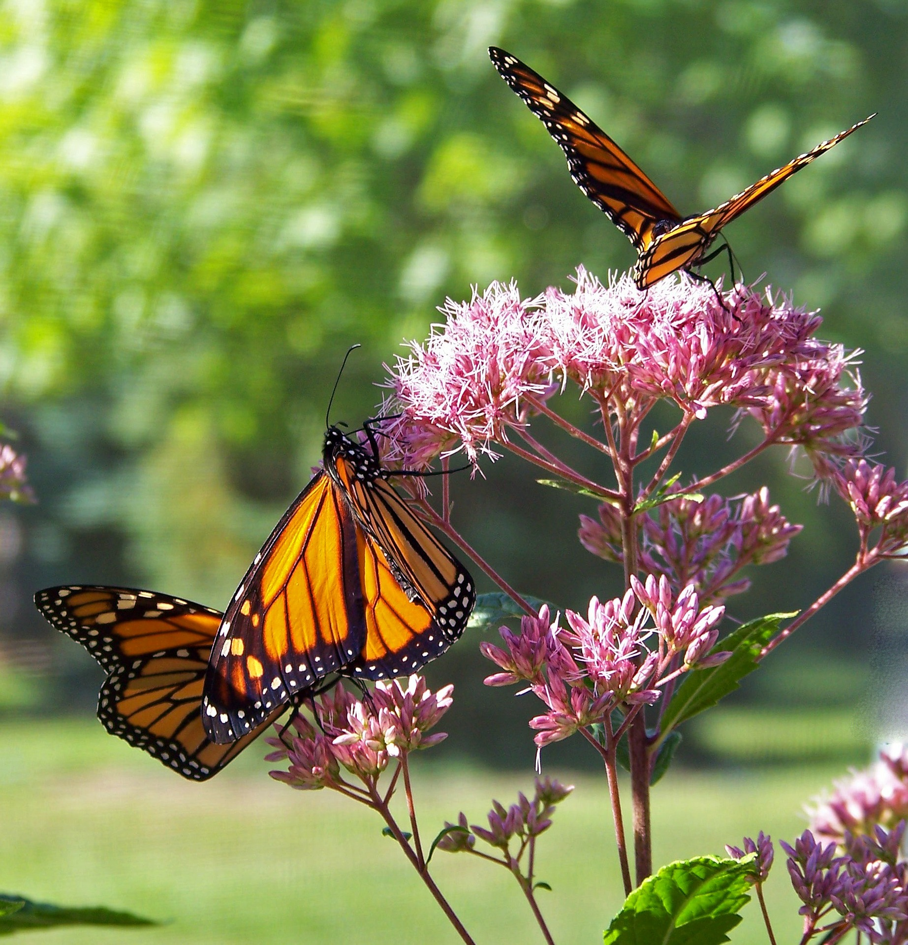 Monarch butterfly. PublicDomainPictures via Pixabay Creative Commons CC0